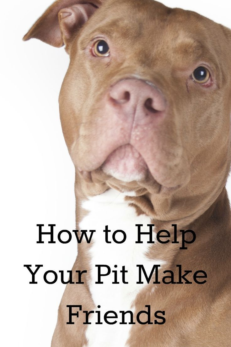 How To Help Your Pitbull Puppy Make Friends Pitbulls Rottweiler