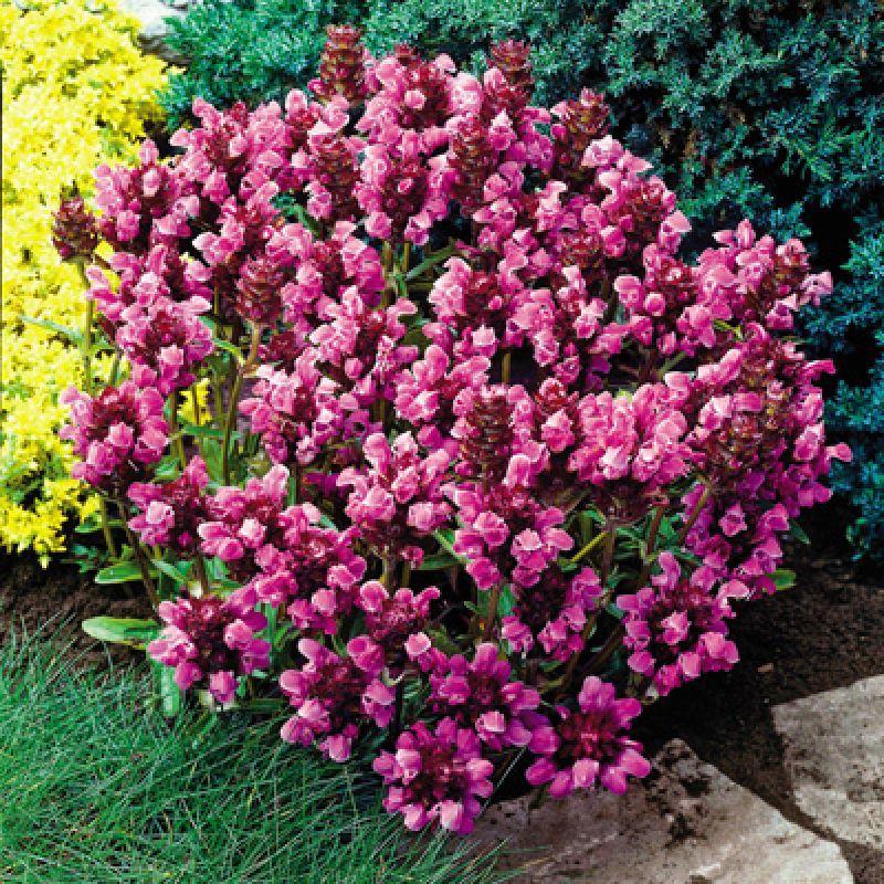 Bella Deep Rose Prunella. Blooms June Through September