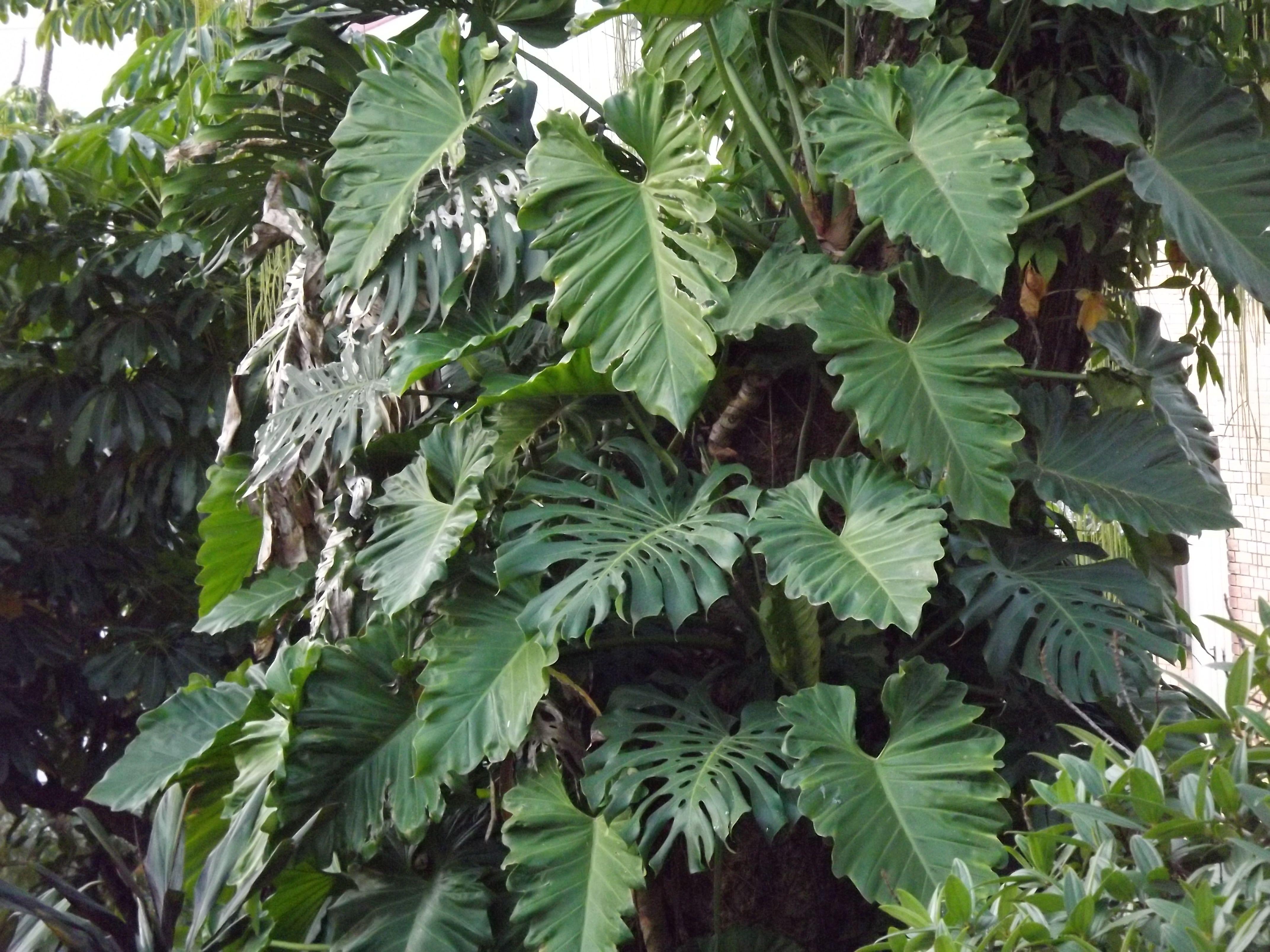Filodendro 2 plantas para interiores meia sombra e for Planta filodendro
