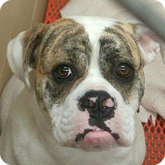 Greenville Sc English Bulldog Meet Dewey A Dog For Adoption