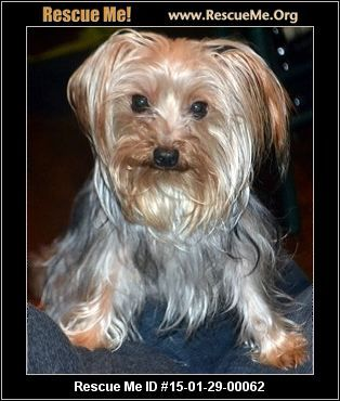 Skipper Male Yorkie Age Puppy Compatibility Good With Most Dogs Good With Kids And Adults Personality Average Ener Little Dogs Yorkie Yorkie Dogs