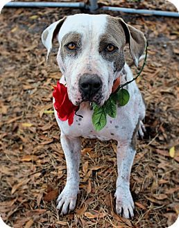 Pin by Jo Wiest on Rescue Dogs   American staffordshire ...