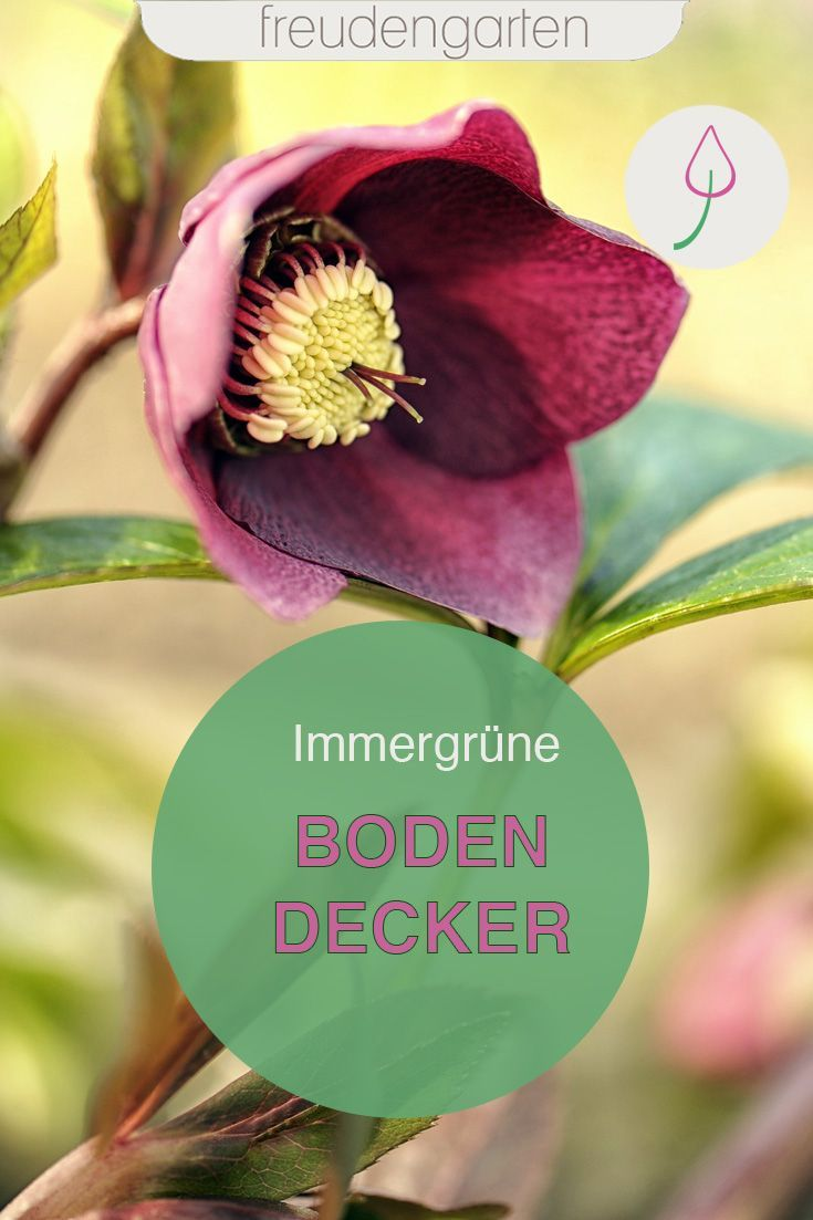 Photo of 13 IMMERGRÜNE BODENDECKER – freudengarten
