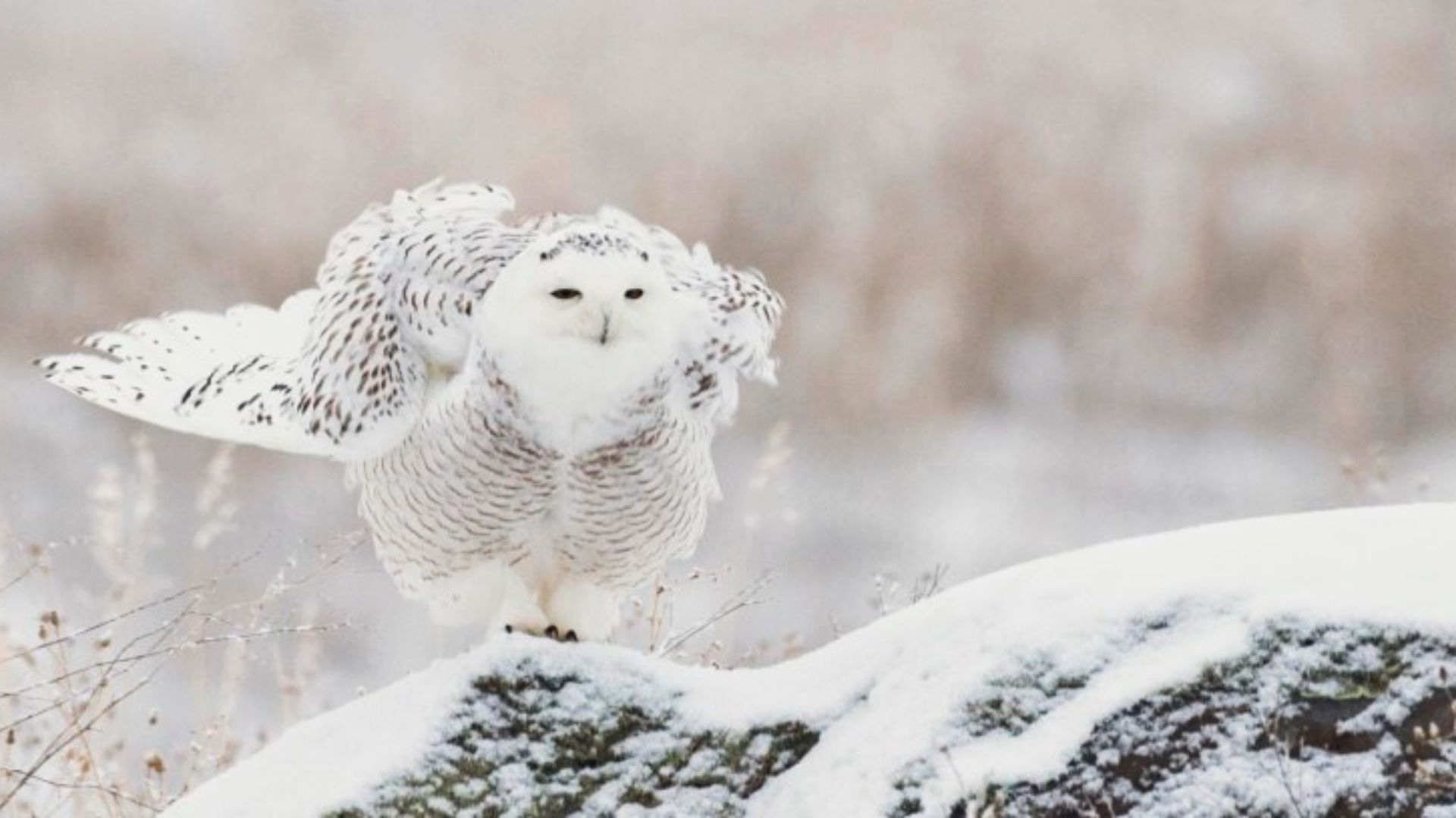 Snowy owl live chat raptor pinterest snowy owl and owl