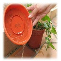 Prevent mosquito breeding in your plants.