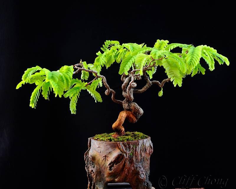 Tamarindus indica bonsai mame shito keshitsubo pohon for Muro robur