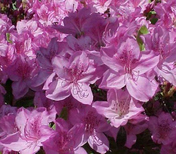 Poukhanense Lavender Korean Azalea Live Plant Full Gallon Pot Plants Garden Shrubs Fragrant Flowers
