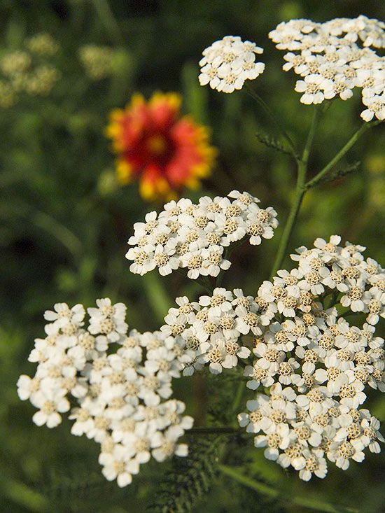 Yarrow Produces Pretty Long Lasting Flowers That Attract Pollinators Plants Native Plants Long Lasting Flower
