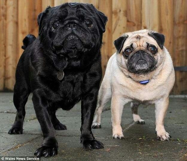 A pug helps her blind friend