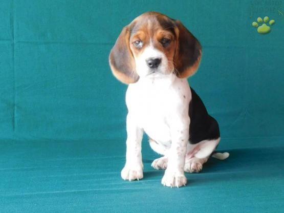 Debbie Beagle Puppy For Sale In Millersburg Oh Lancaster