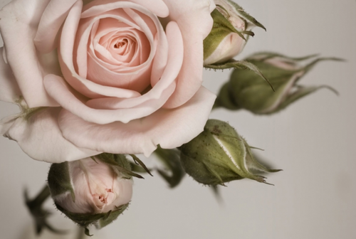 Pin by Quinn on Always Have Flowers Rose