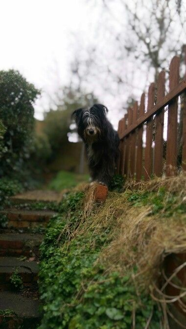 Albert 4 year old working bearded collie.