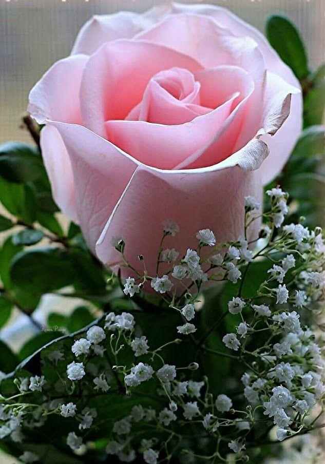 картинки розы красивые мила добротой