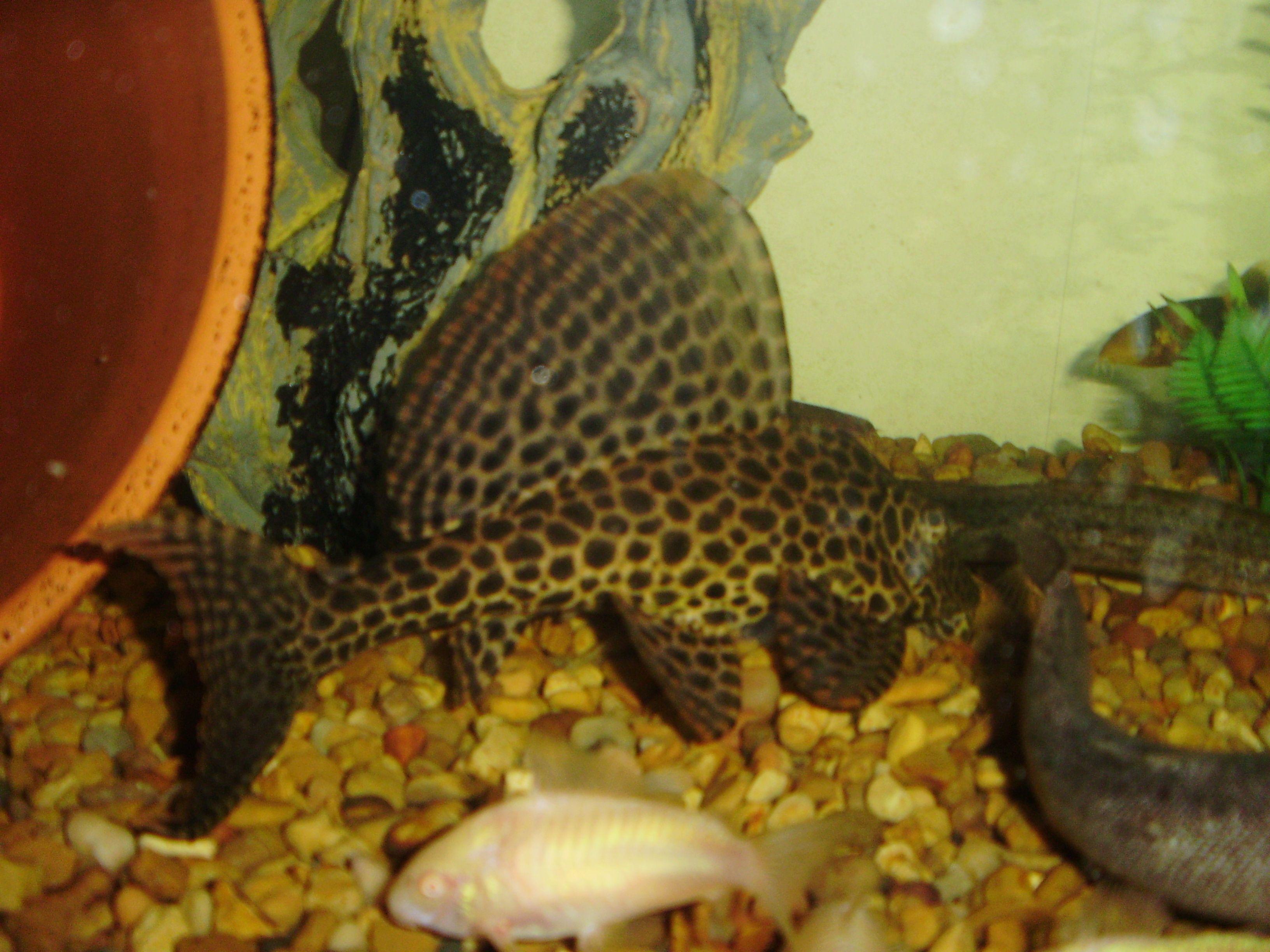 Freshwater aquarium fish breeding - How To Breed Plecostomus