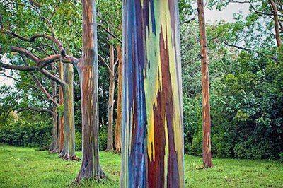 eucalipto arco-íris (Eucalyptus deglupta)