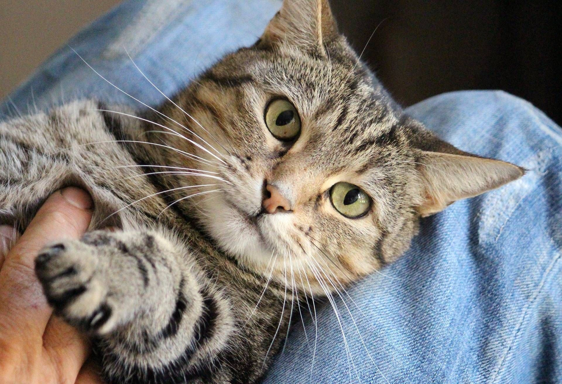 Can Cats Improve Your Mental Wellbeing Katzenworld Why Do Cats Purr Cat Facts Cat Purr