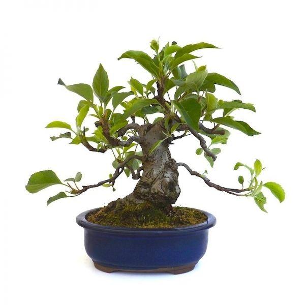 votre professionnel du bonsa en ligne vous pr sente ce bonsai pommier malus cerasifera de 28 cm. Black Bedroom Furniture Sets. Home Design Ideas