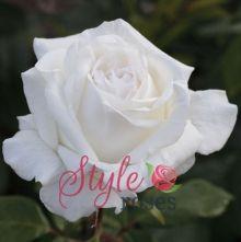 White Perfumella