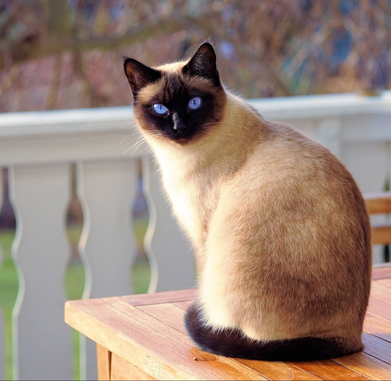 The Siamese cat. If one of these cats owns you, then you