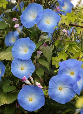 Ipomoea Tricolor Heavenly Blue Buy Online At Annie S Annuals Perennials Blue Morning Glory Morning Glory Vine Blue Flowers