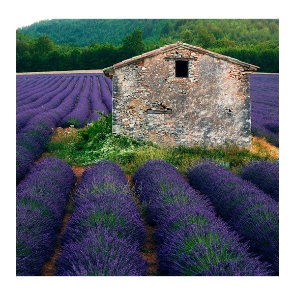 """West of the Wind Canvas Art - La Lavender - 24"""" x 24"""" // Get transported to this tranquil landscape with West of the Wind's La Lavender canvas art. Using the Giclee method, West of the Wind's canvas art provides better color and detail-rich photos, that will make you feel as though you've stepped into the photo."""