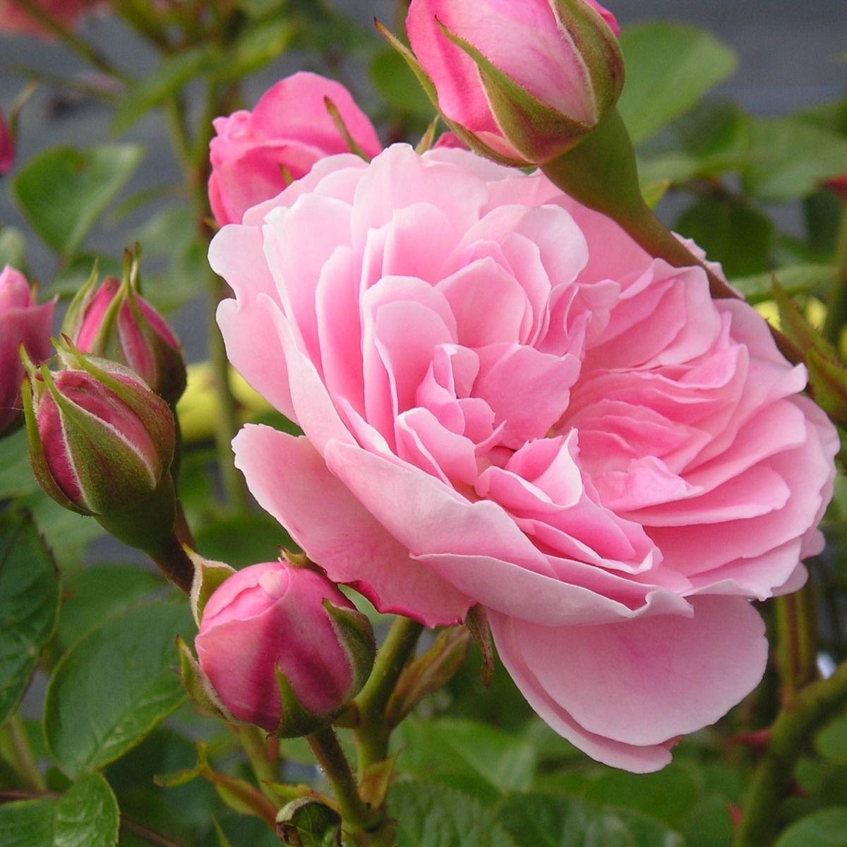 Dear Daughter | Pink Floribunda Rose | Gardenroses.co.uk