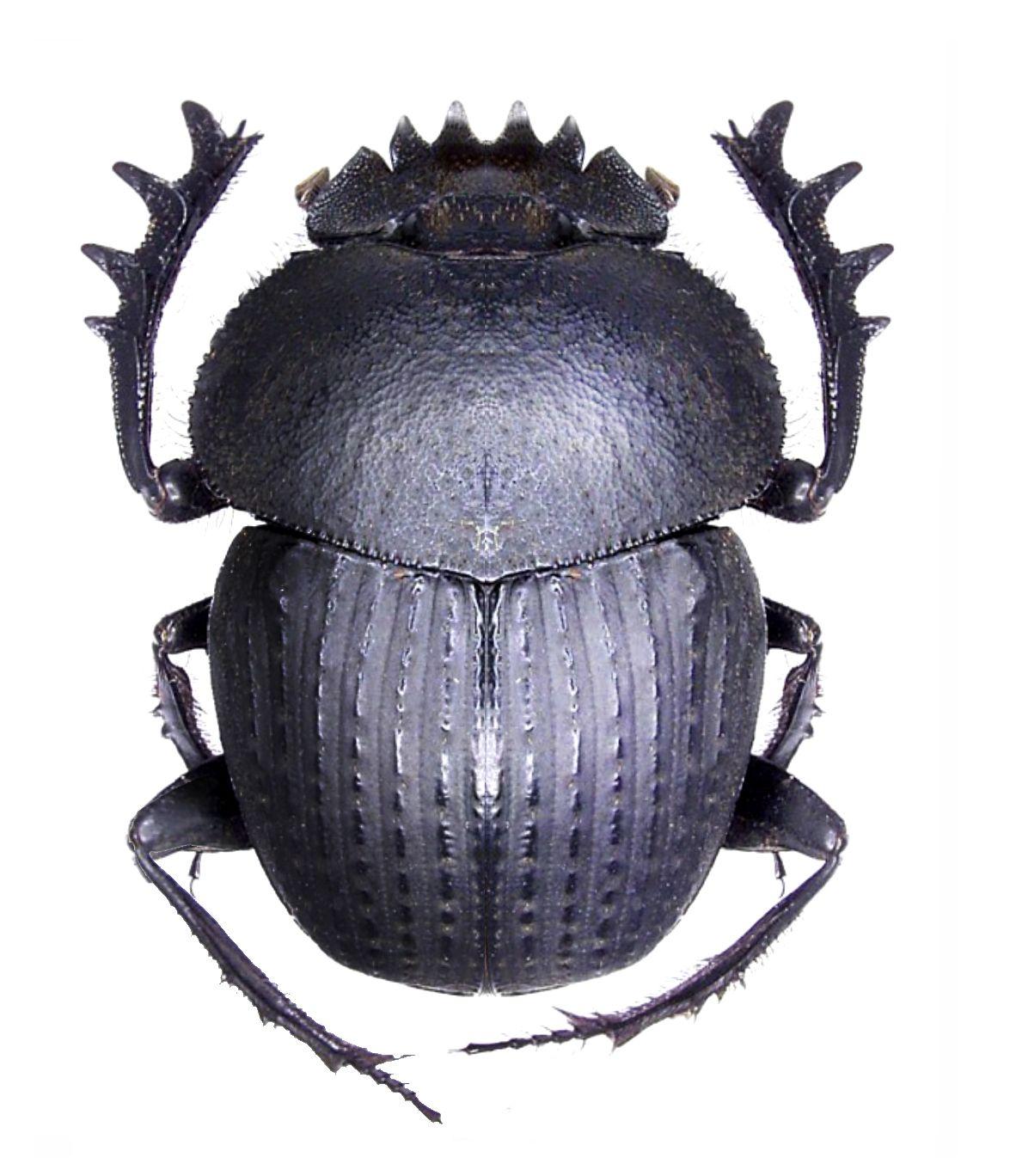 Scarabeus catenatus