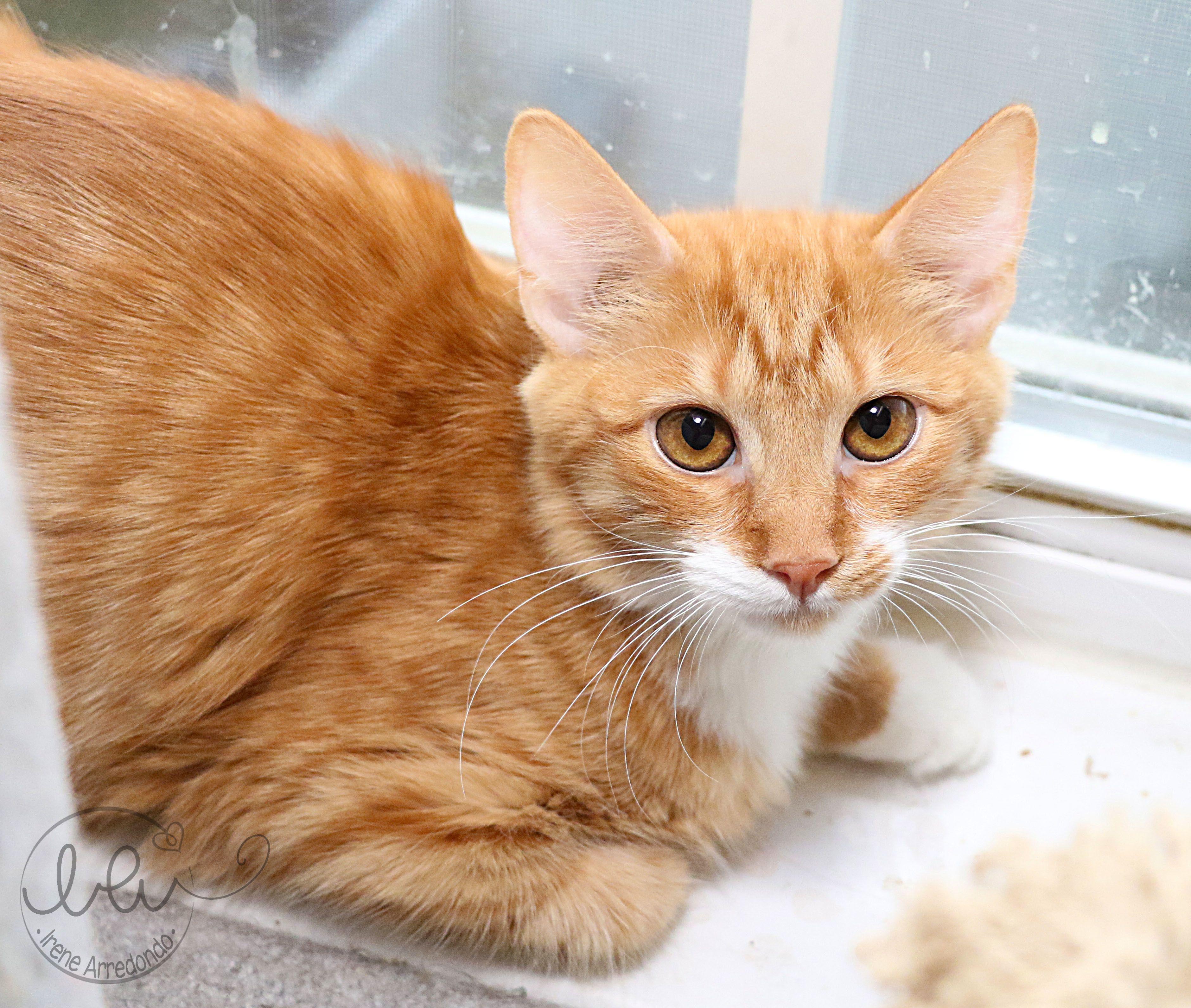 Adopt Julius On Petfinder Tabby Kitten Orange Orange Tabby Cats Saving Cat