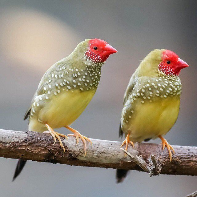 Image result for star finch