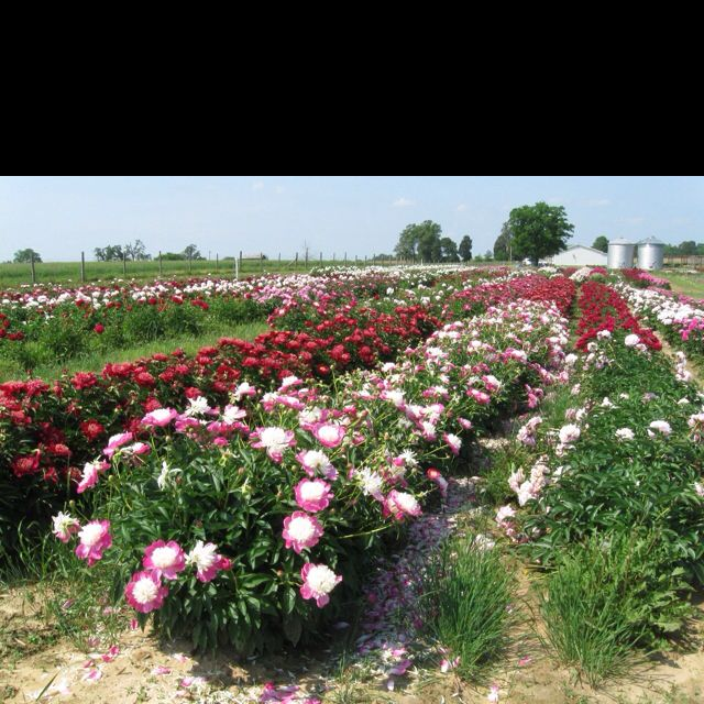 Gold City Flower Garden. Iu0027ve Visited Their Peony Fields Last Spring. They