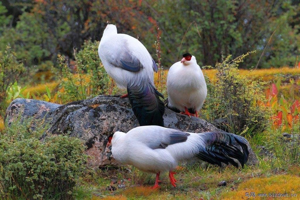 Orelhudo Branco (Crossoptilon Crossoptilon Drouynii.)
