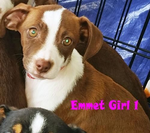 Adopt Emmett Girl 1 On Pregnant Dog Rescue Dogs Pets