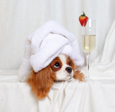 20 Reasons Everyone Needs A Cavalier King Charles Spaniel