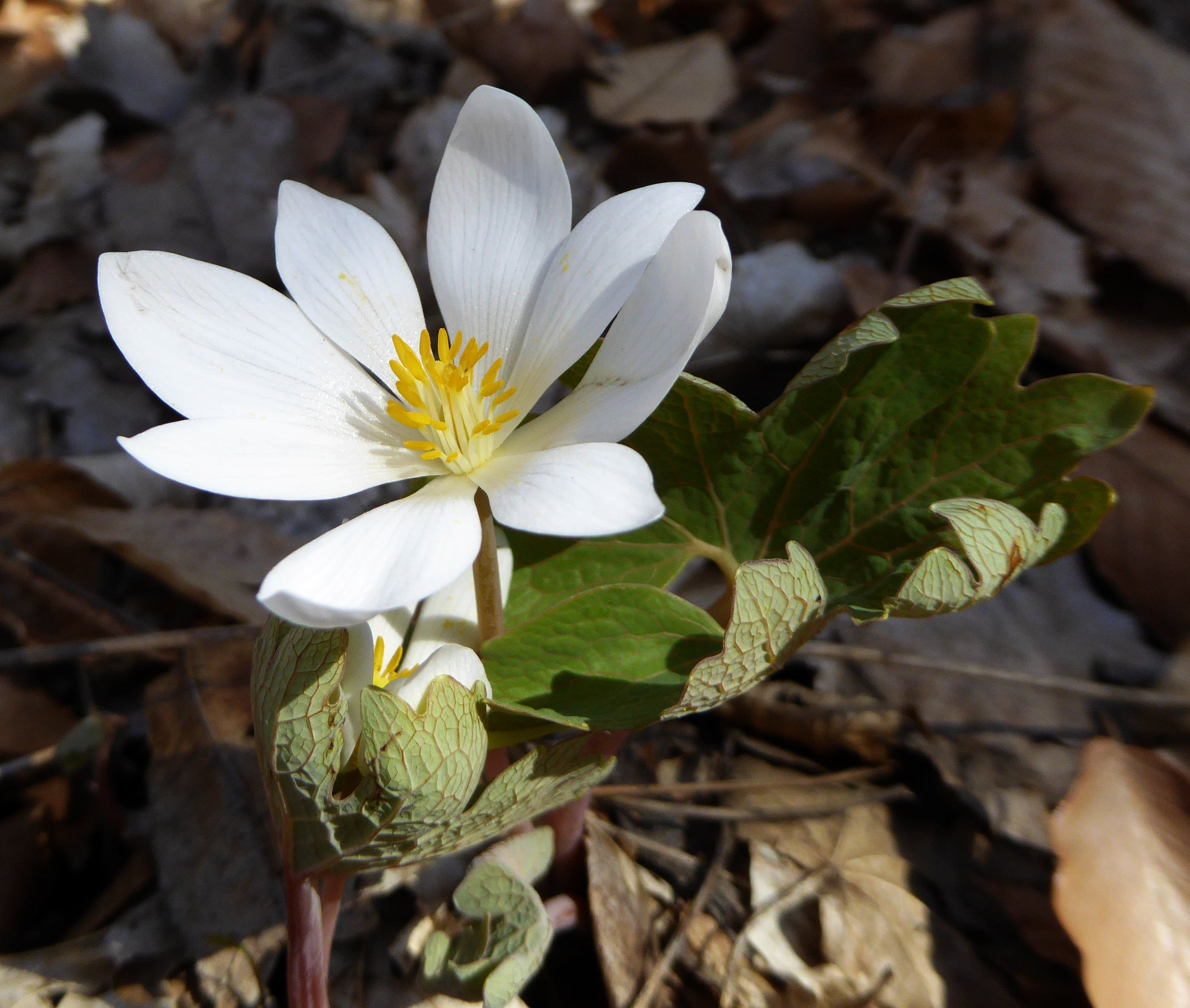 Bloodroot Grows From 8 To 20 In Tall The Flowers Bloom From March To May Depending On The Region And Weather They Have 8 12 Delicate W Rhizome Flowers Petals