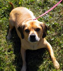 Adopt Mason On Pug Beagle Mix Dogs Pugs