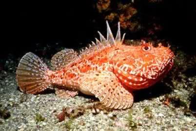 Skarpina Scarpaena Scrofa Red Scorpionfish With Images