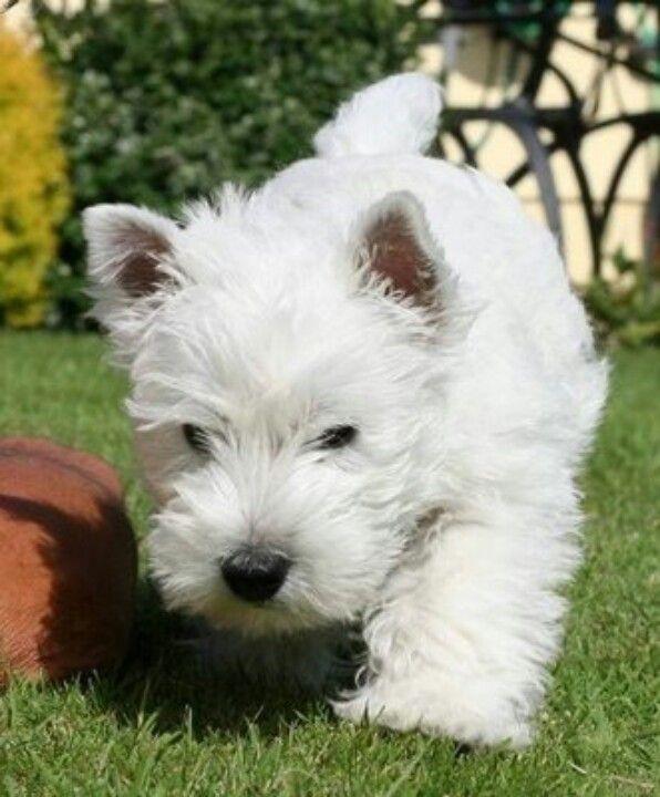 Westie Westies Westie Puppies West Highland Terrier