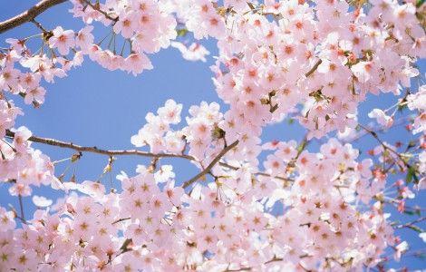 Fond D Ecran Fleur De Cerisier Fonds D Ecran Gratuits Fleur De Cerisier Fond Decran Fleur Fleur De Cerisier Japonais
