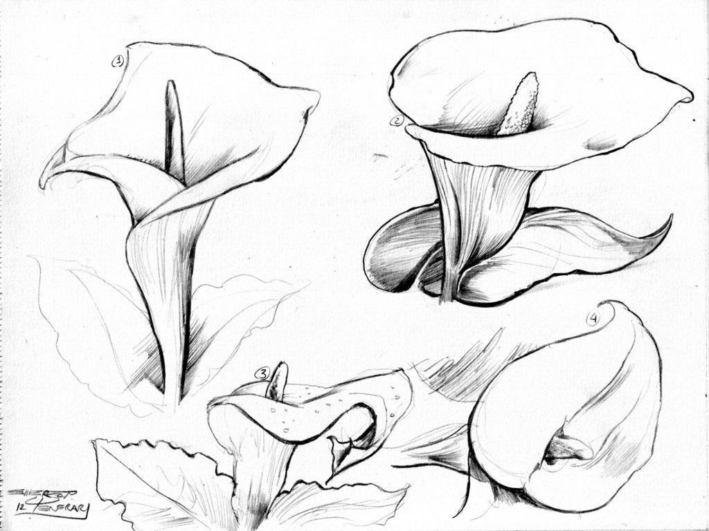 Uncategorized Calla Lily Drawings copo de leite milks cup common names calla lily arum arum