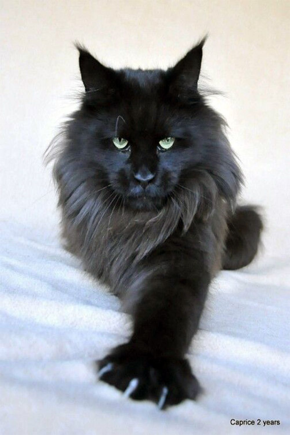 Pin On Maine Coon Kittens Adoption