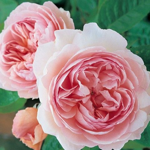 """""""Gentle Hermione"""" A perfectly formed flower of true old rose character. Round buds gradually open to form shallow cups of pure pink palling softly towards the outside. The 4"""" blooms (petals 90) are resistant to rain and the healthy green foliage of this continual bloomer adds to an overall attractive appearance."""
