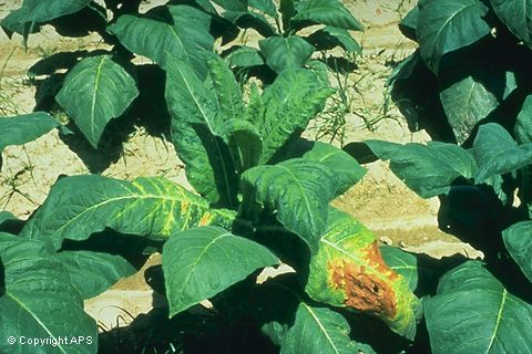 Tobacco mosaic virus. HOSTS: Tobacco, tomato, and other solanaceous plants