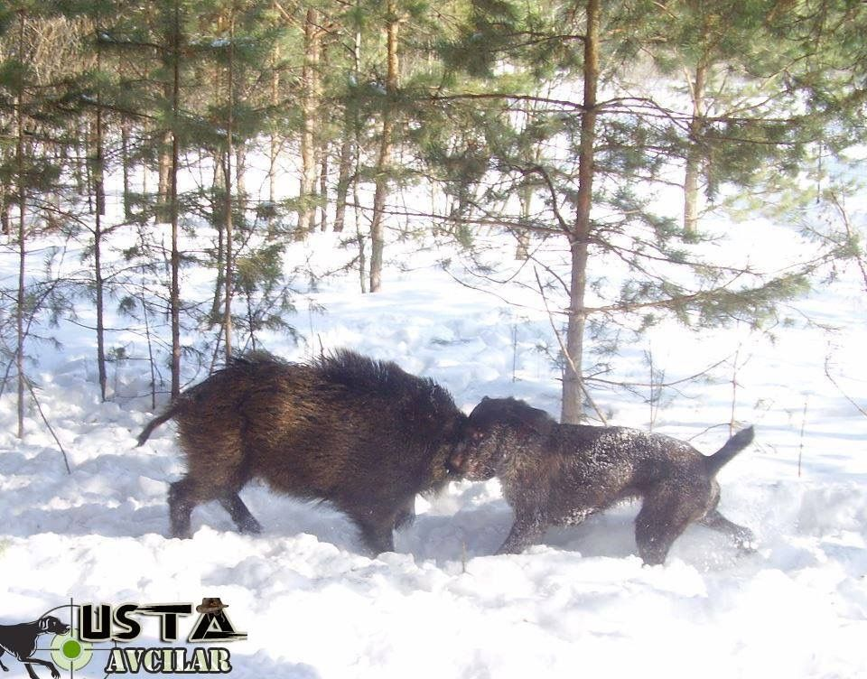 Drahthaar Head to Head with wild boar    Dottie and Stella