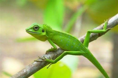 Green pet lizard