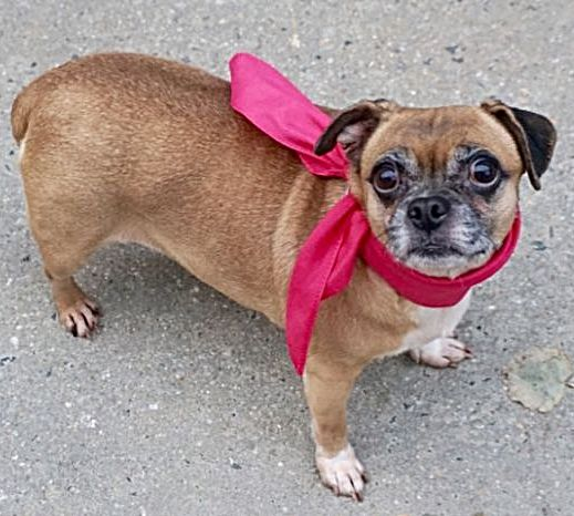 SAFE 12/14/16 --- SUPER URGENT Manhattan Center ABBY – A1098782  FEMALE, BROWN / WHITE, PUG / CHIHUAHUA SH, 8 yrs OWNER SUR – ONHOLDHERE, HOLD FOR ID Reason COST Intake condition EXAM REQ Intake Date 12/05/2016  http://nycdogs.urgentpodr.org/abby-a1098782/