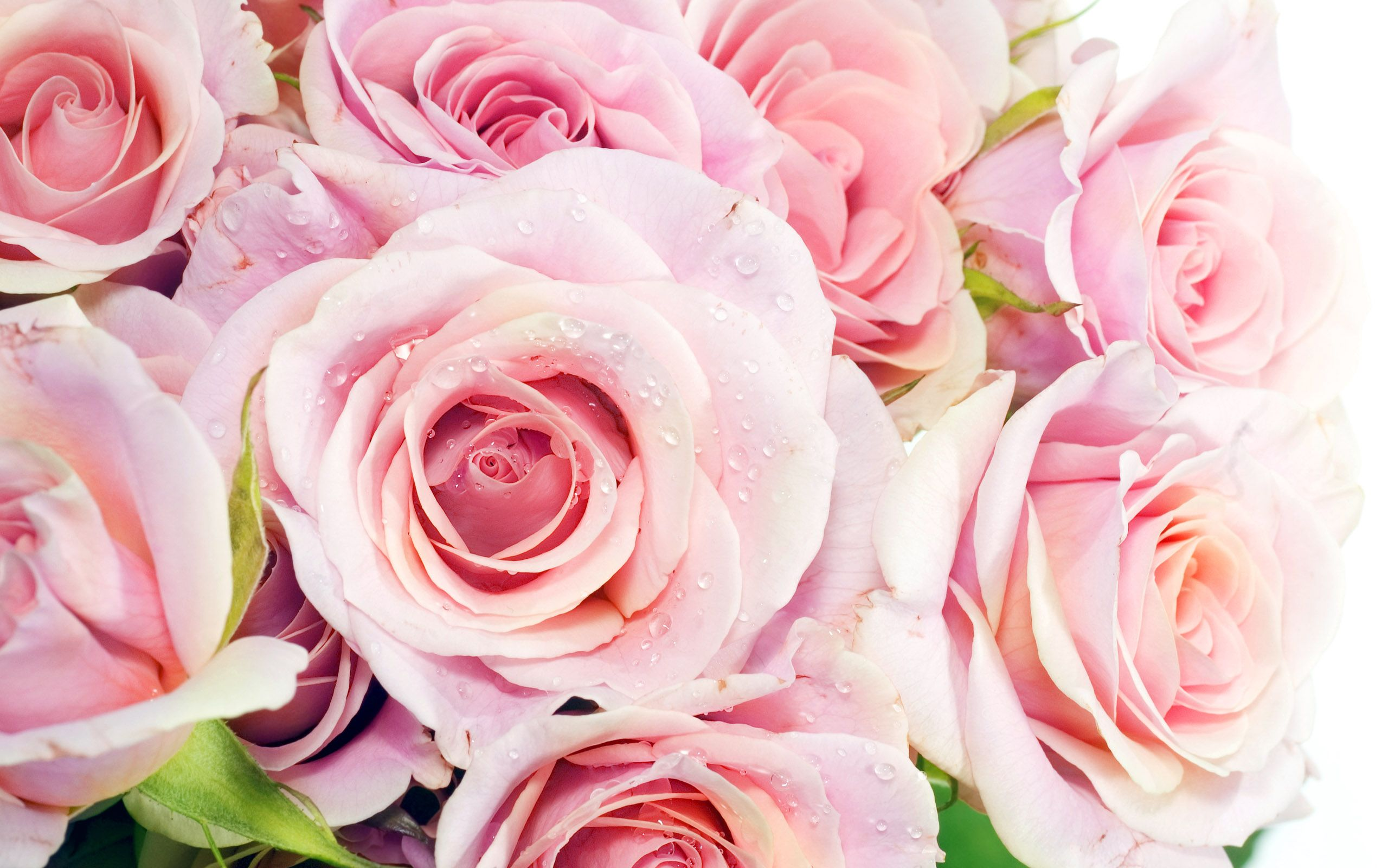 Pink Roses Wallpaper and Background   1366x768   ID:463794