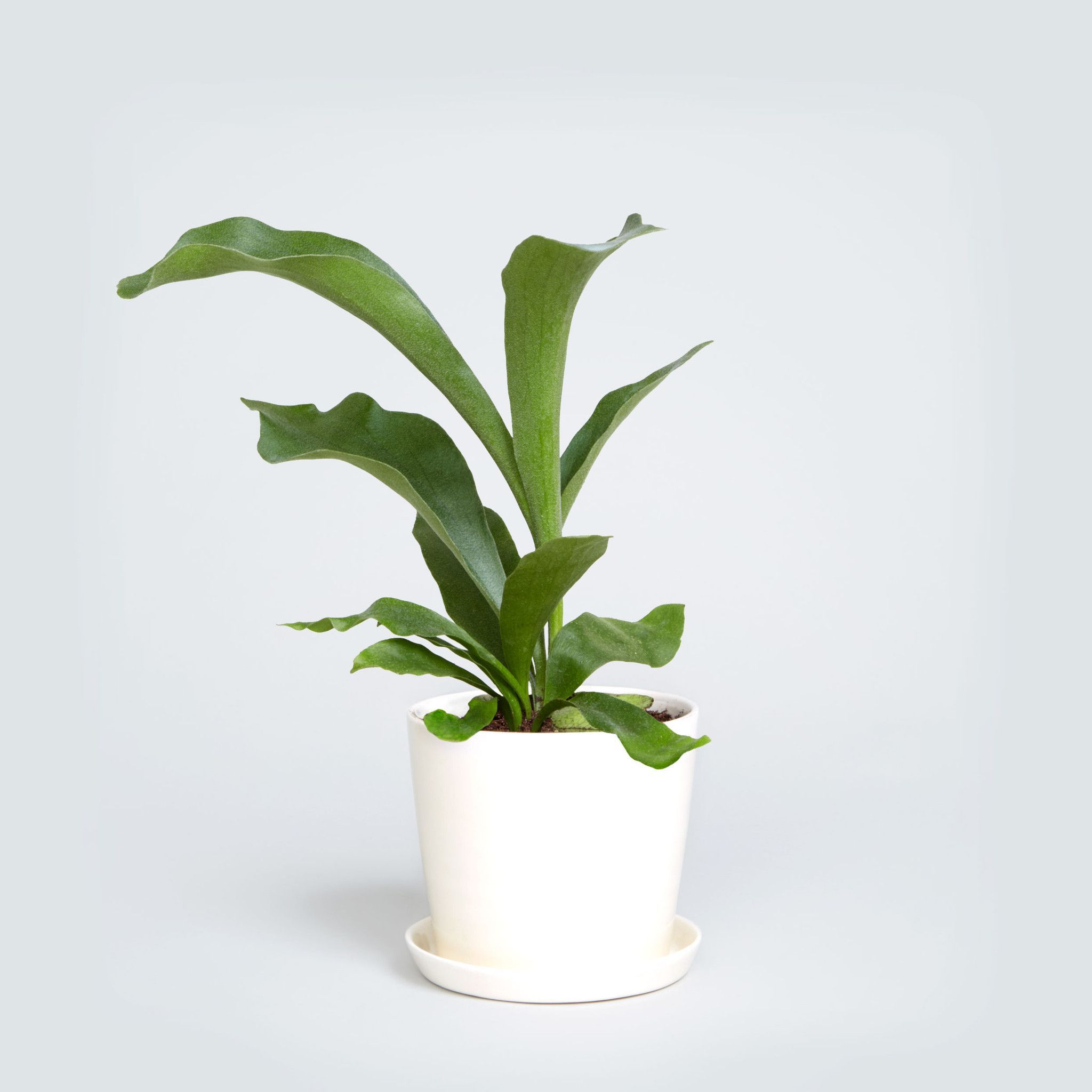 Staghorn Fern Bright Indirect Light Requires Frequent Watering But Allow The Plant Medium