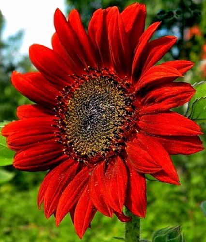 Red Flower Wallpapers Background Red Sunflowers Beautiful Flowers Wallpapers Sunflower Wallpaper