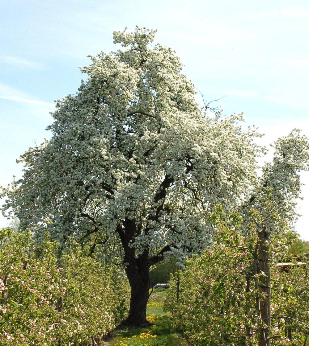Der uralte Birnbaum in unserem Feng Shui Garten zeigt sich jedes