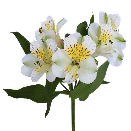 Yellow Sunbath Alstroemeria Flowers Fiftyflowers Com Alstroemeria Freesia Flowers Flowers